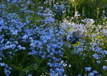 Siberian Flowers