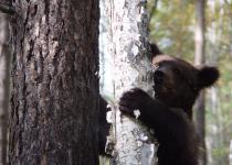 Cub of a brown bear