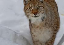 Lynx (Siberian bobcat)
