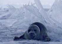 Baikal Nerpa (Seal)